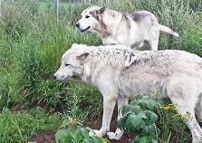 Le Loup et le Chien