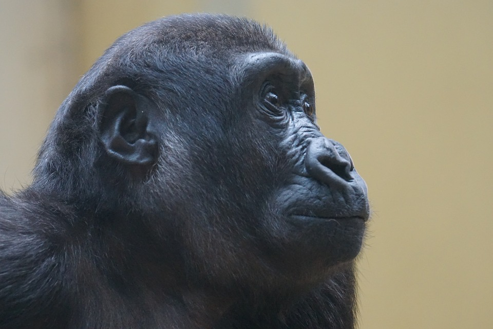 gorilla-1464005_960_720-1