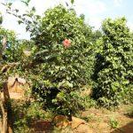 Poivrier_poivre-vert_Kampot_Mont-Bokor