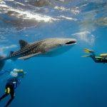 requin-baleine-nosy-be