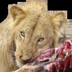 LION Détouré