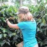 coffee-harvest-2