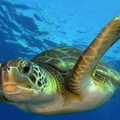 Rencontre avec les tortues marines sur les plages d'Ebodje près de Kribi au Cameroun