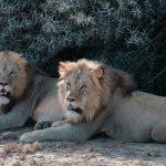 afrique-lion-ecovolontariat-big-safari